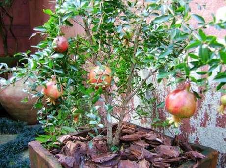 6. A romãzeira é uma das árvores frutíferas que pode ser cultivada em vaso. Fonte: Cultura Mix