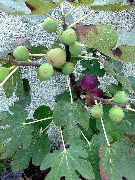 22. Algumas árvores frutíferas podem ser cultivadas em vaso, como essa figueira. Fonte: Pinterest