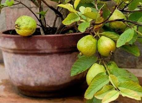 25. A goiabeira é uma das árvores frutíferas que pode ser cultivada em vasos. Fonte: Pinterest