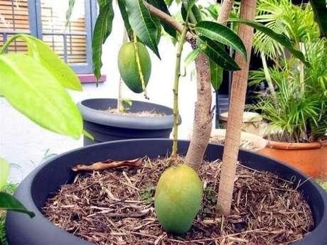 26. A mangueira é uma das árvores frutíferas que pode ser cultivada em vasos. Fonte: Terral