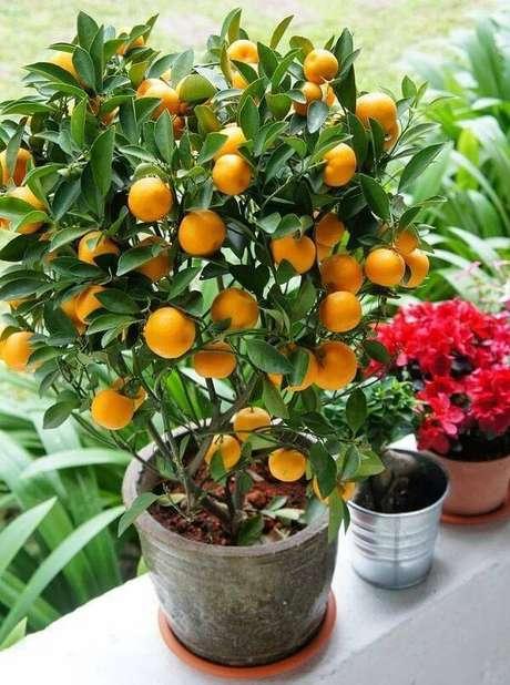 27. A laranja é uma das árvores frutíferas que pode ser cultivada em vasos pequenos. Fonte: Mercado Livre