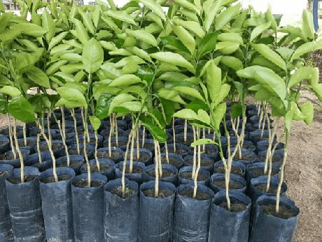 12. Mudas de árvores frutíferas. Fonte: Prefeitura Municipal de Porto Xavier