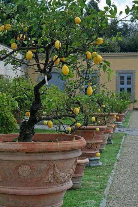 28. O limão siciliano é uma das árvores frutíferas que pode ser cultivada em vasos. Fonte: Pinterest