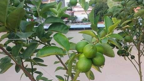 29. O limão taiti também é uma das árvores frutíferas que pode ser cultivada em vasos. Fonte: Pinterest