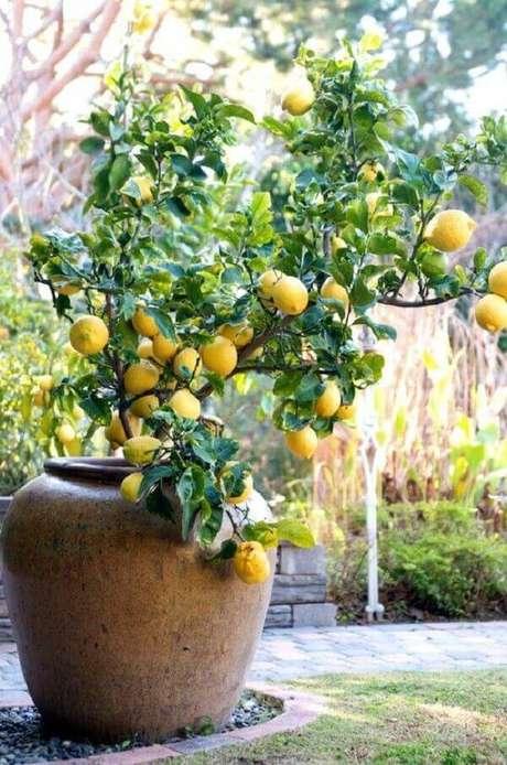 14. O limoeiro é uma das árvores frutíferas que pode ser cultivada em vaso. Fonte: Pinterest