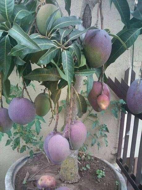 30. A mangueira carrega também é uma das árvores frutíferas que pode ser cultivada em vasos. Fonte: Pinterest