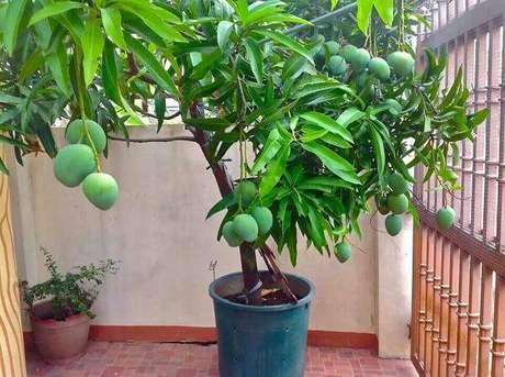 11. Mini árvore frutífera de manga cultivada em vaso. Fonte: Assim que Faz