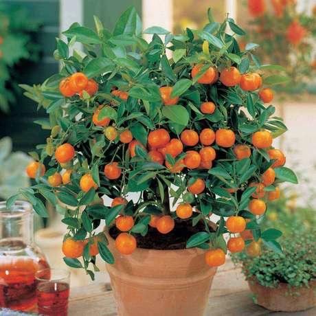 31. A Mexerica anã é uma das árvores frutíferas que pode ser cultivada em vasos. Fonte: Mercado Livre