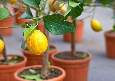 3. O limoeiro é uma das árvores frutíferas que pode ser cultivada em vasos. Fonte: Pinterest