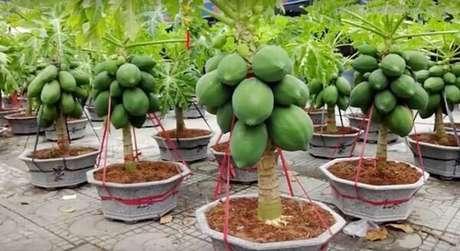 37. Cultive árvores frutíferas em vasos. Fonte: Assim que Faz