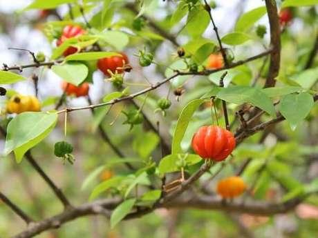 10. Mini árvore frutífera de pitangueira cultivada em vaso. Fonte: Minhas Plantas