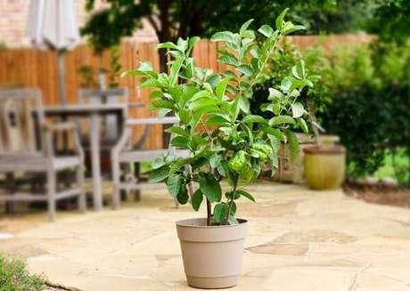 9. Mini árvore frutífera de goiabeira cultivada em vaso. Fonte: Jardim em casa