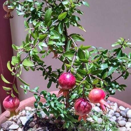 38. A romã pode ser cultivada dentro de casa. Fonte: Pnterest