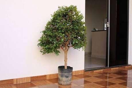 5. A jabuticabeira é uma das árvores frutíferas que pode ser cultivada em vaso. Fonte: Plantei