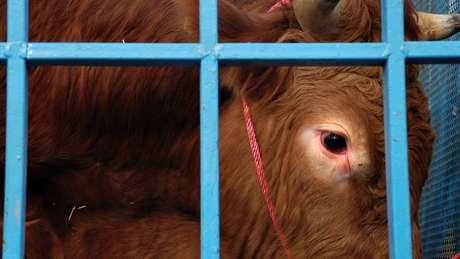 Close no rosto de uma vaca viva dentro de uma jaula
