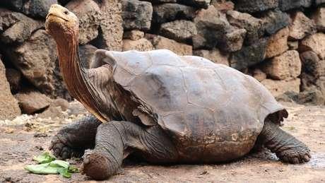 Ao voltar para sua ilha natal, Diego vai conviver com uma população de 1,8 mil tartarugas, das quais ao menos 40% são suas descendentes diretas