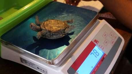 Técnicos medem e pesam tartaruga bebê nascida neste ano em Galápagos; programa de acasalamento foi considerado bem-sucedido no arquipélago