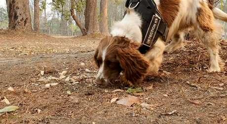 Cadela Taylor busca coalas feridos na Austrália, em imagem obtida de vídeo 22/11/2019 Tate Animal Training Enterprises via REUTERS