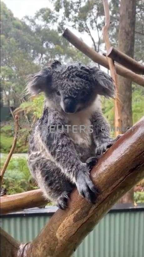 Coala encharcado pela chuva, no Australian Reptile Park em Somersby, Nova Gales do Sul 17/01/2020 PARQUE DE REPÚBLICA AUSTRALIANO/via REUTERS