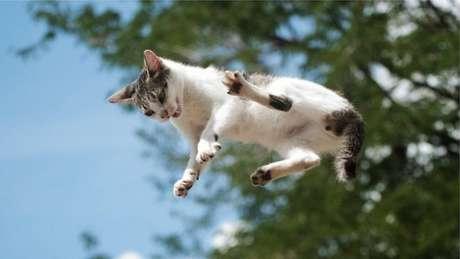 De alguma forma, ainda é um mistério para a comunidade científica como os gatos conseguem cair de pé