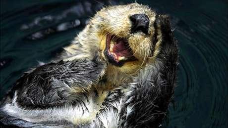 A lontra-marinha era a espécie-chave na ilha de Amchitka, na costa do Alasca