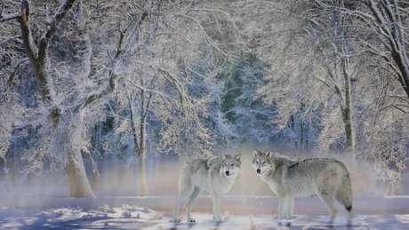 Lobos, tão temidos no passado, agora são bem-vindos em Yellowstone