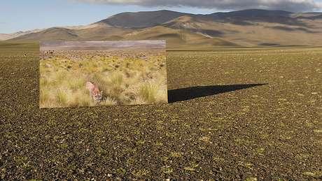 Os pumas mudaram o cenário dos altiplanos na Argentina