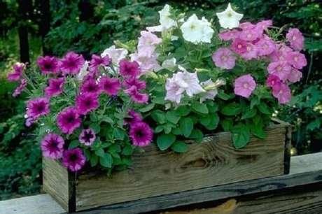55. Petúnias coloridas cultivadas em floreiras de madeira. Fonte: Canoas Garden Center