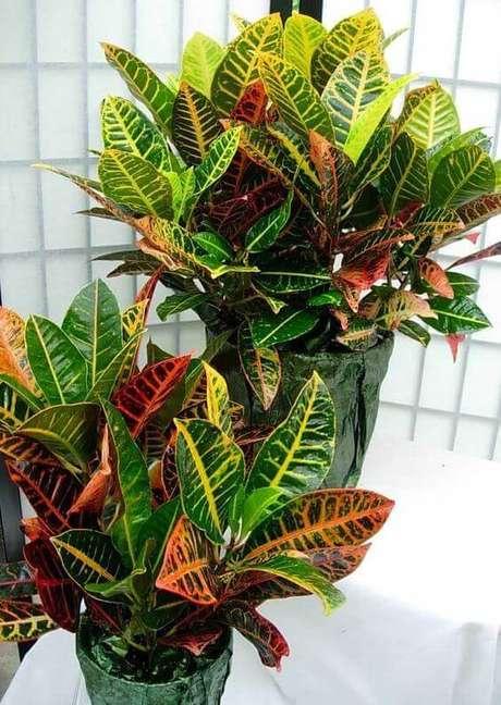 23. Plantas de sombras croton – Foto: Decor Fácil