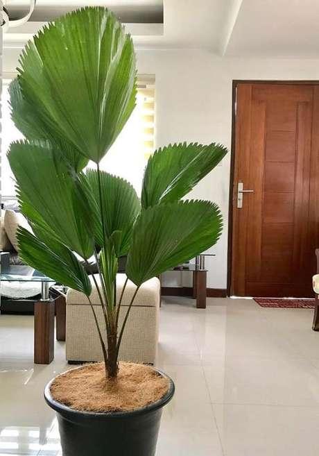 29. Plantas de sombra palmeira Ieque – Via: Decor fácil