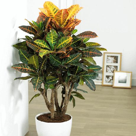 36. Plantas de sombra para decoração de casa Croton – Foto: Pinterest