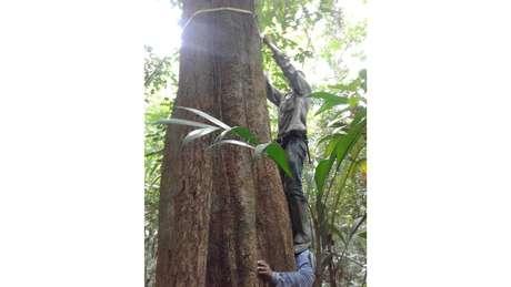Algumas árvores devem ter seu diâmetro medido na parte de cima porque a presença de raízes embaixo atrapalha seu verdadeiro diâmetro