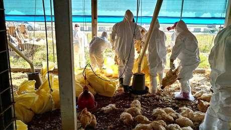 Em meio aocoronavírus, China relata surto de gripe aviária.