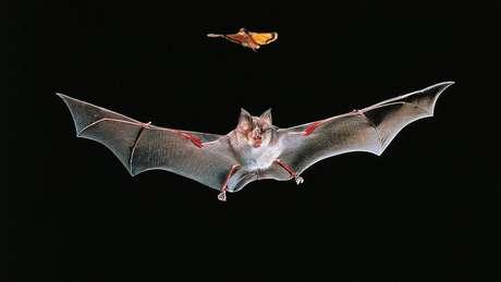 O sistema imunológico dos morcegos teria sido adaptado para permitir que eles voassem, acreditam os especialistas