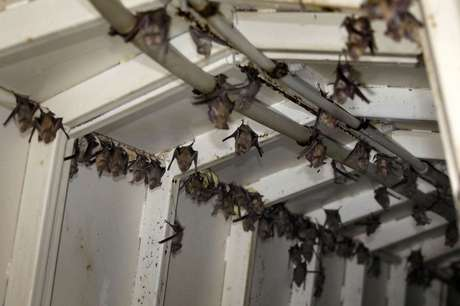 Os morcegos são os mamíferos mais numerosos, depois dos roedores