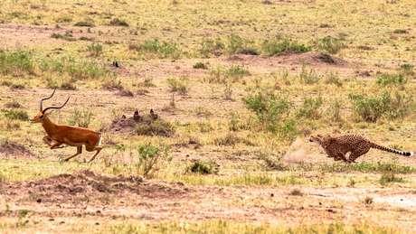 Será que este antílope tem alguma chance de sobreviver, já que está sendo perseguido por um leopardo?