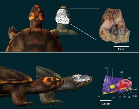 Pesquisadores utilizaram tecnologias como tomografia computadorizada e impressão em 3D para reconstruir as estruturas da anatomia da tartaruga