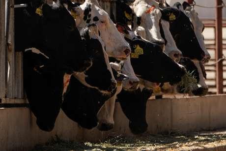 Vacas da raça holandesa são alimentadas em uma fazenda da Califórnia, Estados Unidos 02/10/2019 REUTERS/Mike Blake