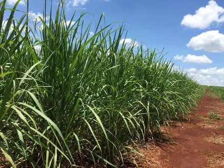 Campo de cana em estágio de desenvolvimento de uma fazenda do Paraná, Brasil 01/01/2019 REUTERS/Marcelo Teixeira