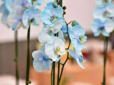 15 – Como cuidar de orquídea azul
