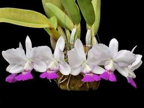 16– Como cuidar de orquídea branca e lilás.