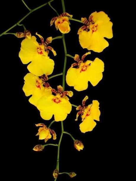 6- Orquídea chuva de ouro é super fácil aprender como cuidar de orquídea.