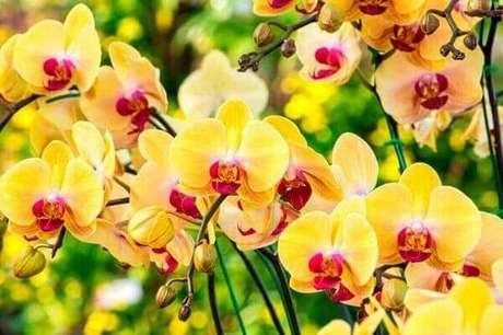 17 – Como cuidar de orquídea amarelas com detalhes em vermelho.