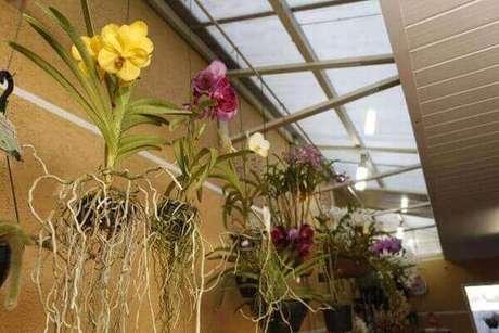 24 – Como cuidar de orquídea no corredor.