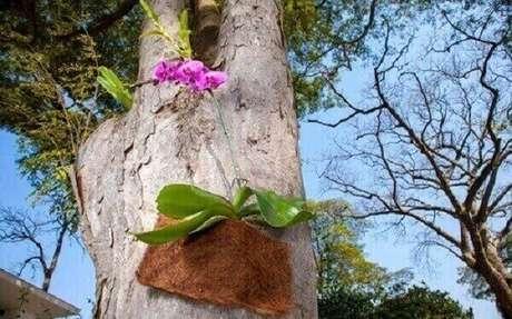 7- Orquídea no tronco de árvore de quintal. Veja como cuidar de orquídea.