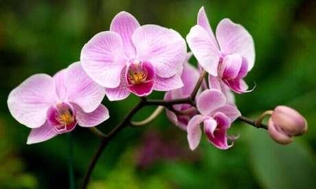 14 – Como cuidar de orquídea de haste grande.