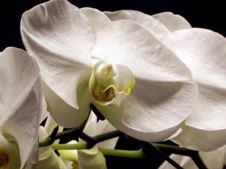 1- A beleza única da orquídea branca, então aprenda como cuidar de orquídea.