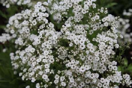 2. Flor mosquitinho natural. Fonte: Planta Sonya