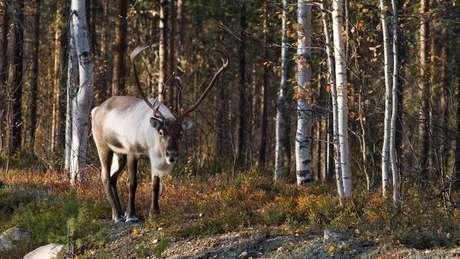 As renas silvestres, altamente ameaçadas de extinção, se beneficiaram das áreas de cinturão verde no norte da Europa