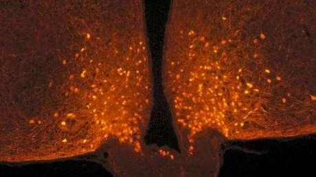 Os astrócitos cobrem os neurônios POMC antes de uma refeição, mas eles se retiram após a pessoa se alimentar, produzindo assim uma sensação de saciedade